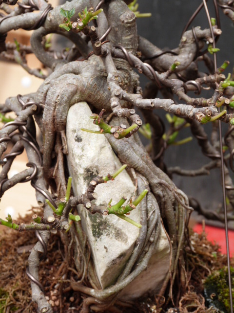 ficus carica on stone...3 years of evolution - Page 2 P1190013