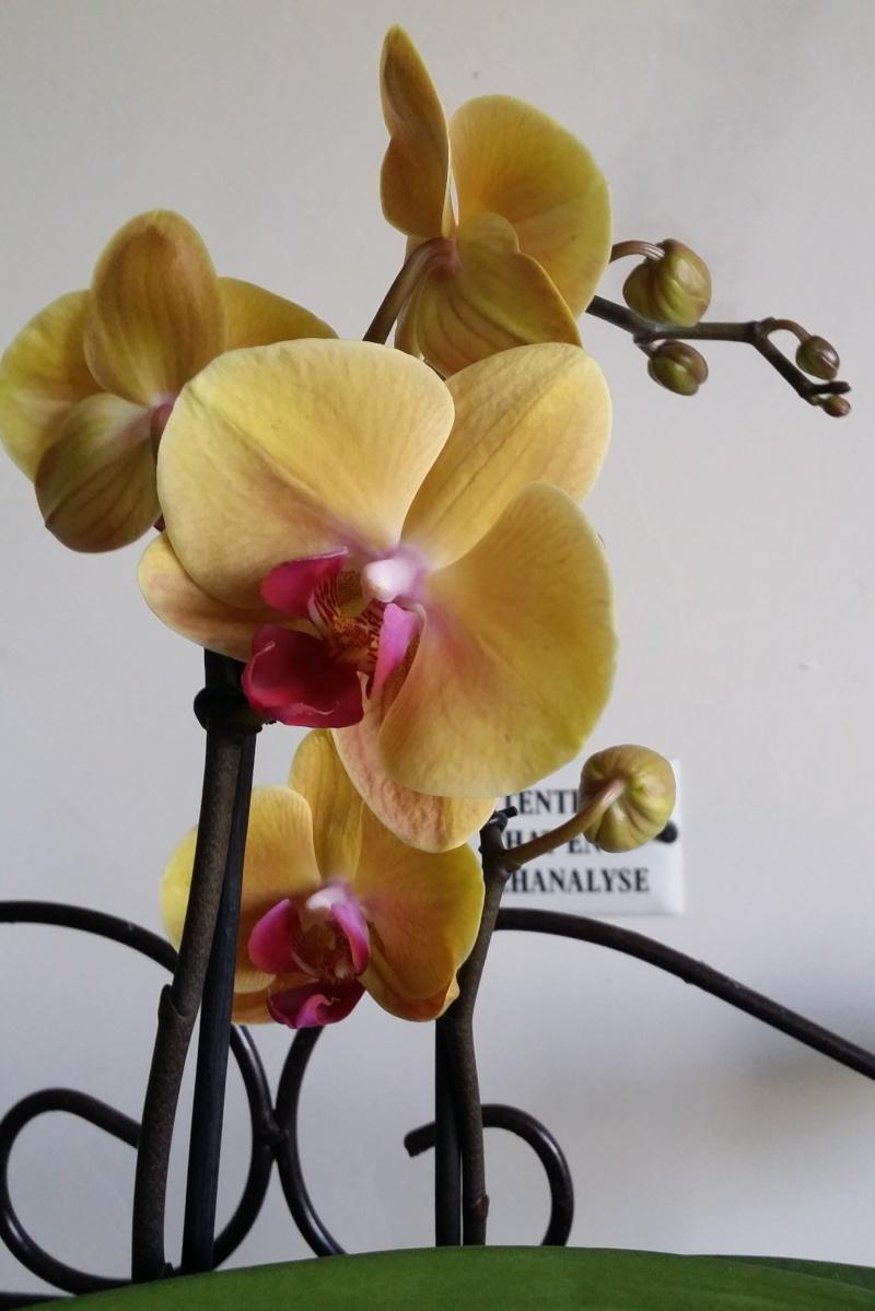 Palaenopsis : enfin des hampes florales !! 20140510