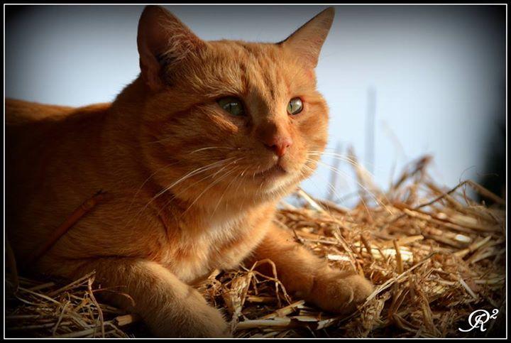 HUGO, chat européen roux, né le 01/05/2012, en sauvetage (frais d'adoption libres) 16068310