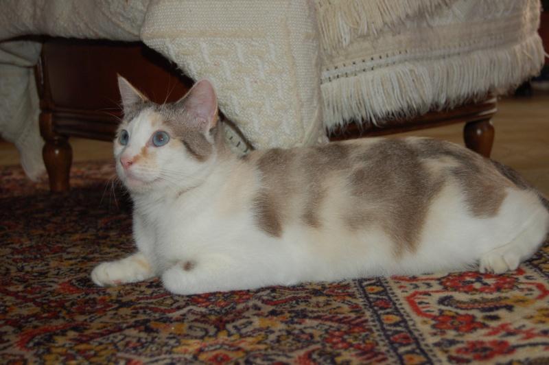 Epona, femelle tricolore blanche, née le 29 juin 2009 2012_o11