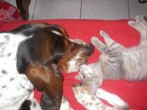 Jadore, chatonne grise tigrée  née en mai 2014  31b10
