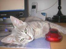 Jadore, chatonne grise tigrée  née en mai 2014  31d10