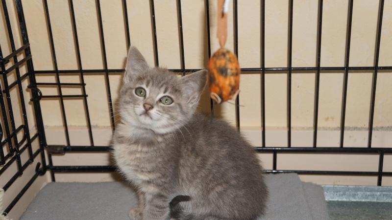 Jadore, chatonne grise tigrée  née en mai 2014  Dsc03017