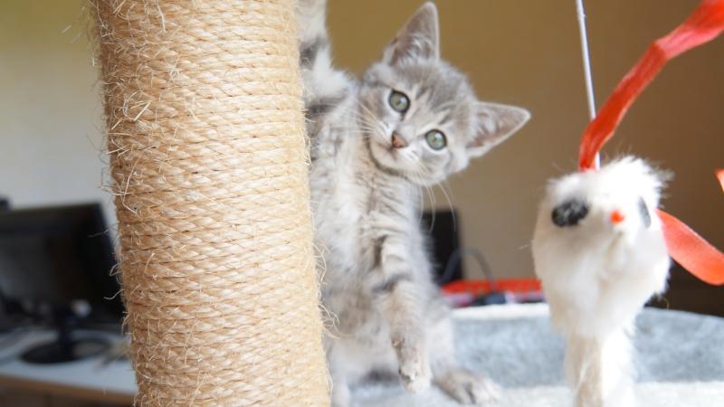 Jadore, chatonne grise tigrée  née en mai 2014  Dsc03111