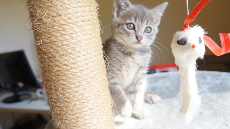 Jadore, chatonne grise tigrée  née en mai 2014  Dsc03112