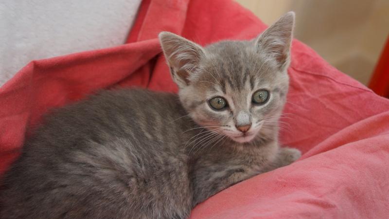 Jadore, chatonne grise tigrée  née en mai 2014  Dsc03213