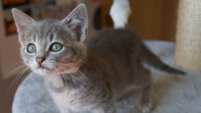 Jadore, chatonne grise tigrée  née en mai 2014  Dsc03312