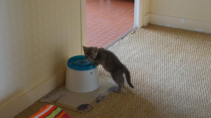 Jadore, chatonne grise tigrée  née en mai 2014  Dsc03410