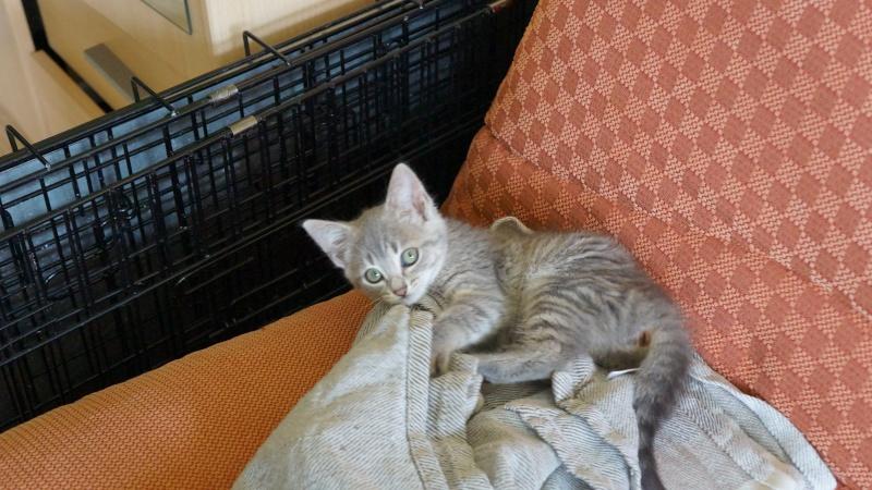 Jadore, chatonne grise tigrée  née en mai 2014  Dsc03411
