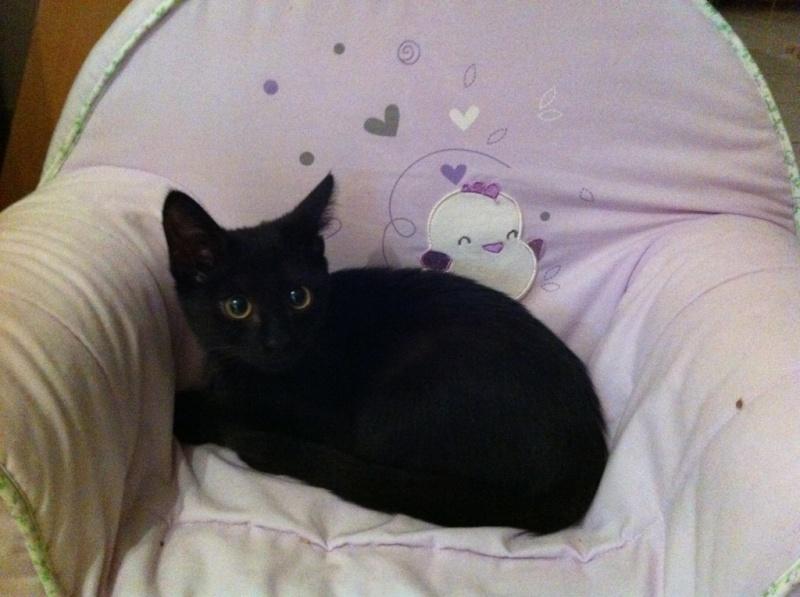 Jolicoeur, chaton type européen, noir née le 01/07/2014 Img_2410
