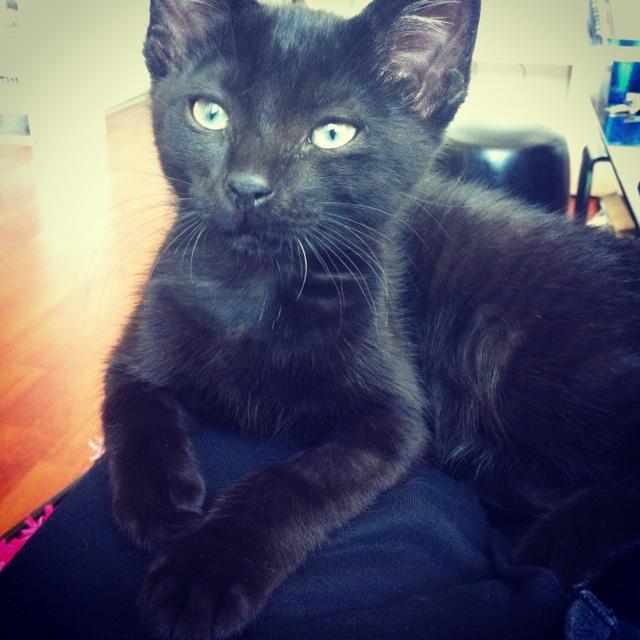 JUNIOR, chaton européen noir, né le 01/03/2014 Img_6710