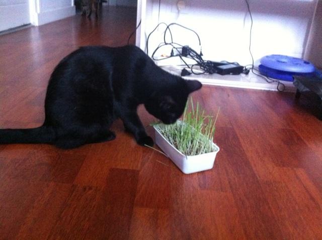 JUNIOR, chaton européen noir, né le 01/03/2014 Img_7610