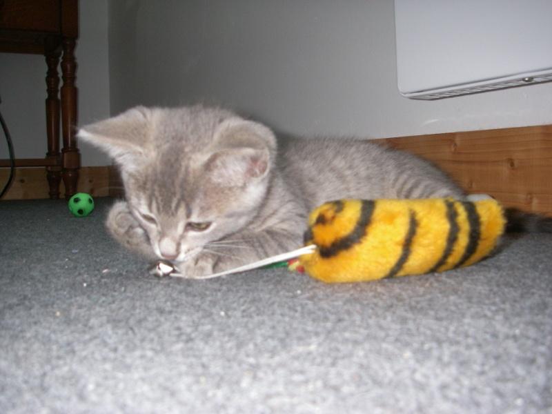 Jadore, chatonne grise tigrée  née en mai 2014  Imgp2010