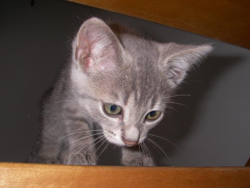 Jadore, chatonne grise tigrée  née en mai 2014  Imgp2110