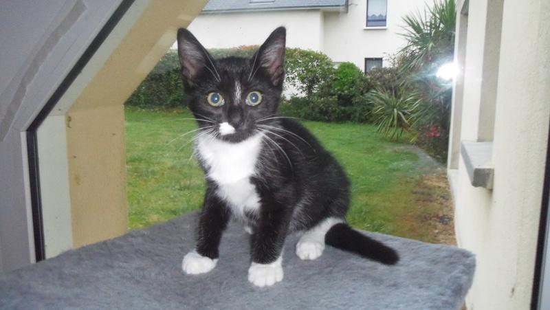 Joba, chatonne femelle type européen noire et blanche, née le 25/04/2014 Imgp6010