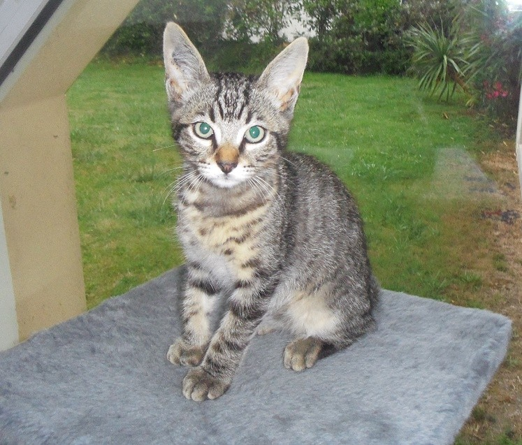 Jaffar, chaton mâle type européen brown tabby né le 25/04/2014 Imgp6012