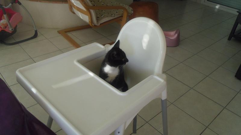 Joba, chatonne femelle type européen noire et blanche, née le 25/04/2014 Imgp6210