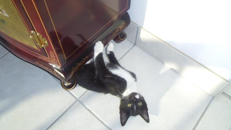 Joba, chatonne femelle type européen noire et blanche, née le 25/04/2014 Imgp6211