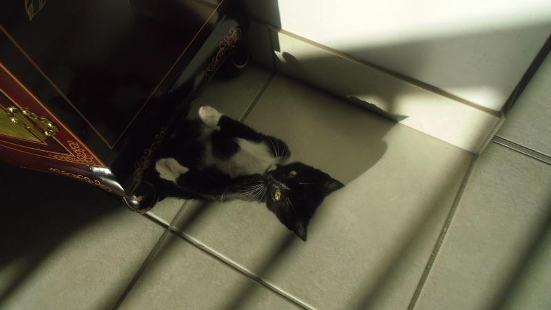 Joba, chatonne femelle type européen noire et blanche, née le 25/04/2014 Imgp6212