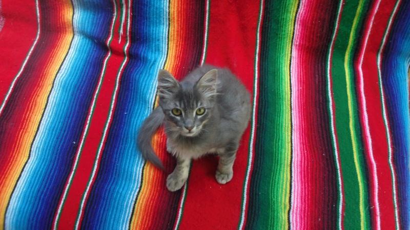Jéjé chaton mâle BLUE TABBY né le 27/05/2014 Imgp6415