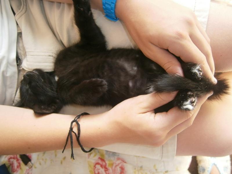 Jappeloup, chaton mâle type européen, noir avec tâche blanche, né le 01/05/2014 Jappel11