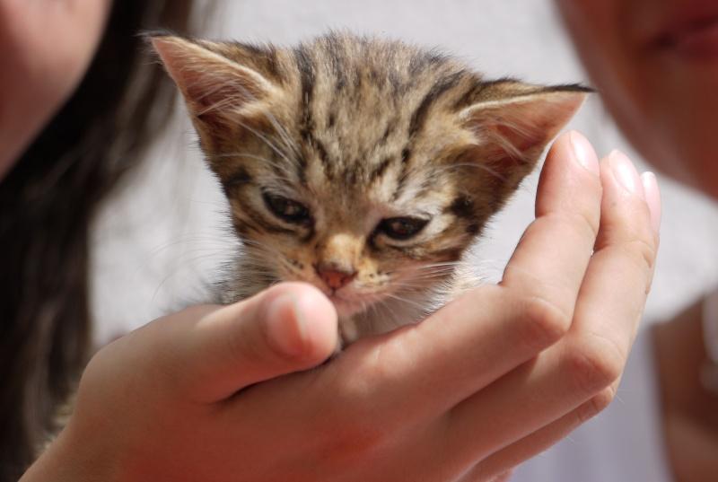 Junon, chatonne européenne tigrée et blanche, née le 19/06/14 P1000710