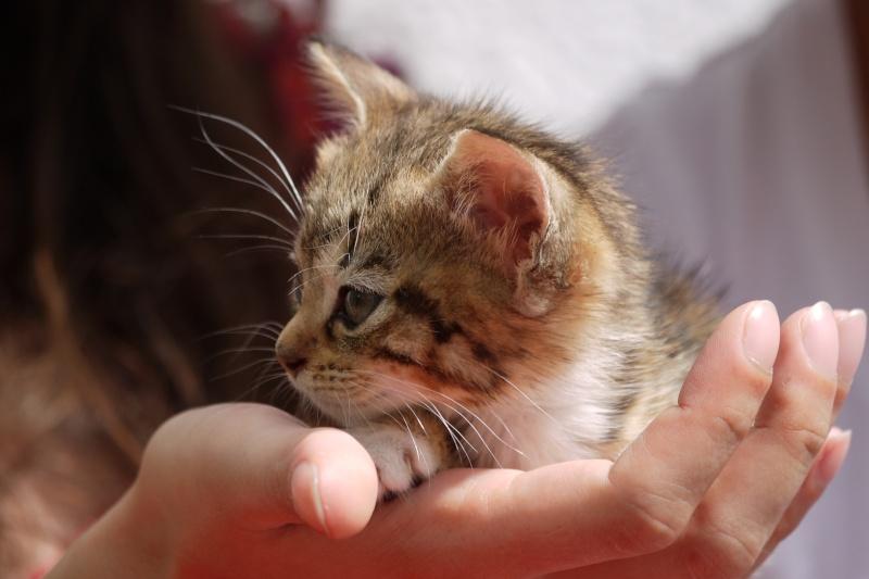 Junon, chatonne européenne tigrée et blanche, née le 19/06/14 P1000711