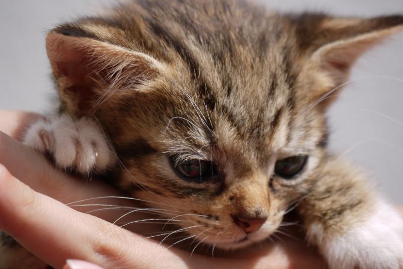 Junon, chatonne européenne tigrée et blanche, née le 19/06/14 P1000712