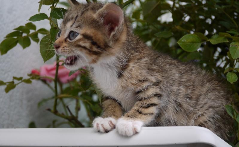 Junon, chatonne européenne tigrée et blanche, née le 19/06/14 P1000713
