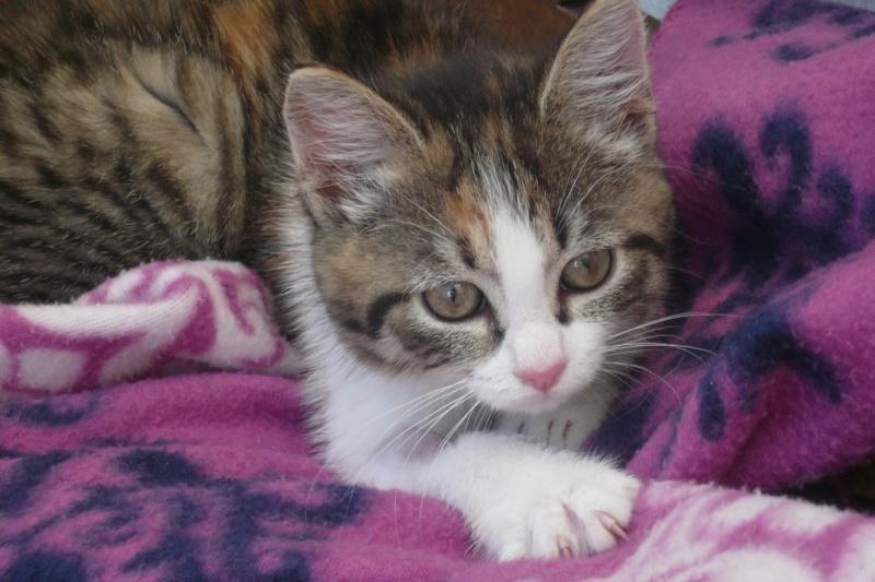 JOANNE, chatonne européenne tricolore, née le 01/04/2014 P1040810