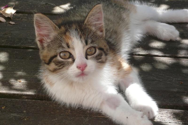 JOANNE, chatonne européenne tricolore, née le 01/04/2014 P1040911