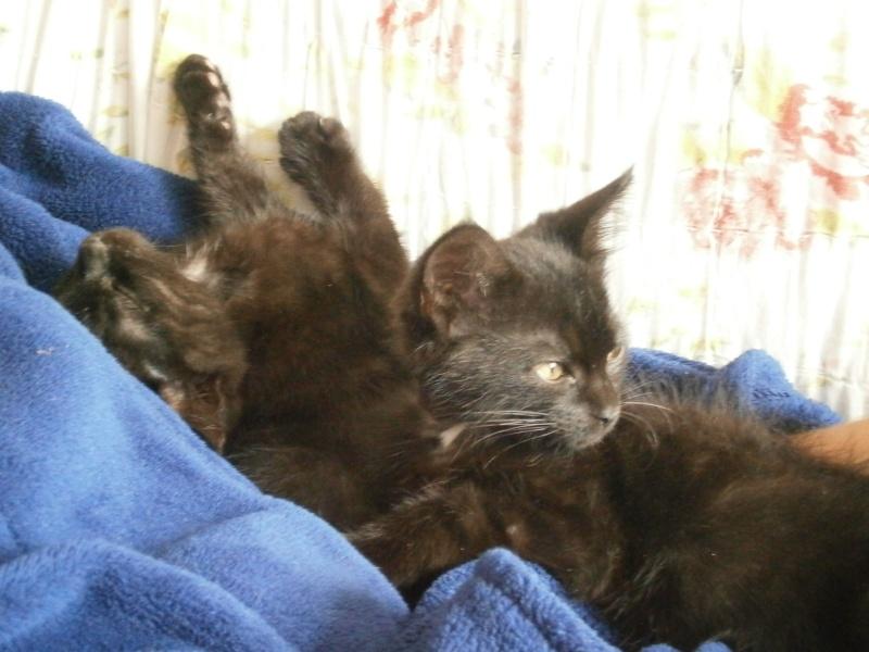 Jappeloup, chaton mâle type européen, noir avec tâche blanche, né le 01/05/2014 P7200310