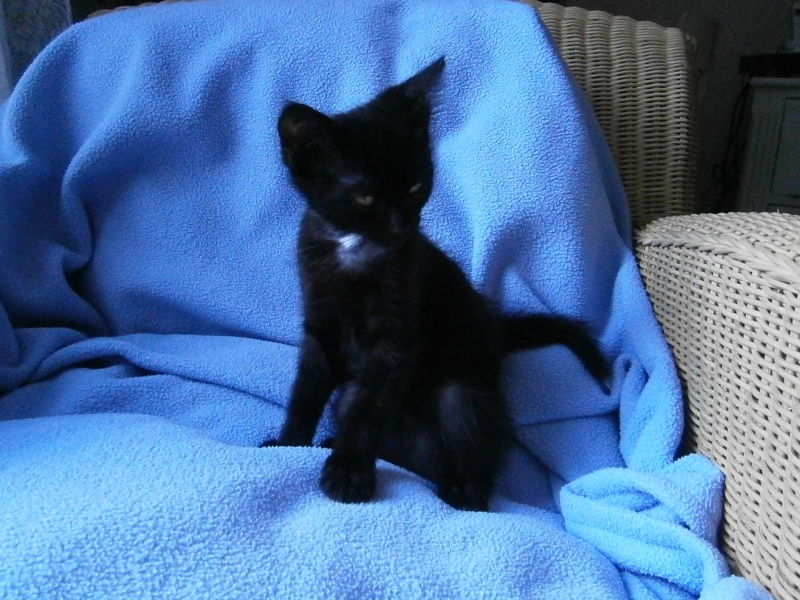 Jappeloup, chaton mâle type européen, noir avec tâche blanche, né le 01/05/2014 P7210411