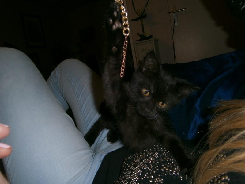 Jappeloup, chaton mâle type européen, noir avec tâche blanche, né le 01/05/2014 P7280311