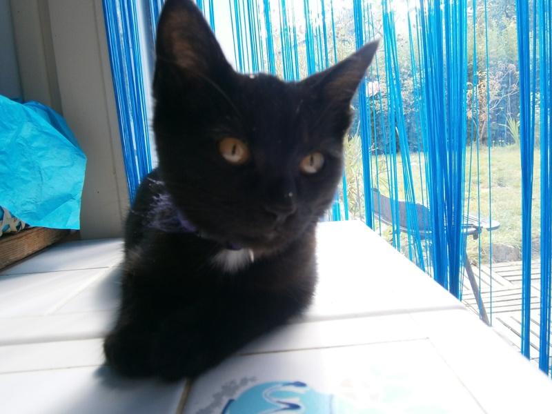 Jappeloup, chaton mâle type européen, noir avec tâche blanche, né le 01/05/2014 P8130010