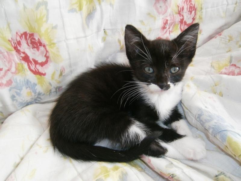 Joubarbe, chaton femelle type européen noire et blanche, née le 18/06/2014 P8130011