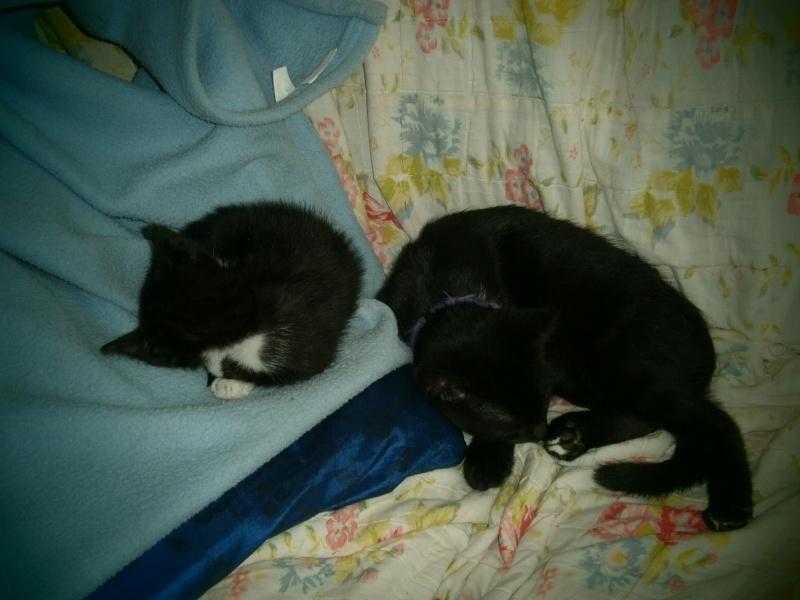Joubarbe, chaton femelle type européen noire et blanche, née le 18/06/2014 P8140010