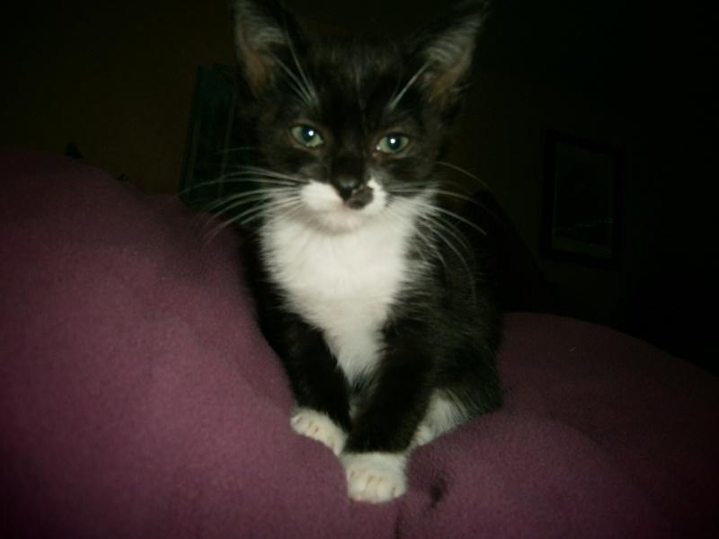 Joubarbe, chaton femelle type européen noire et blanche, née le 18/06/2014 P8140012