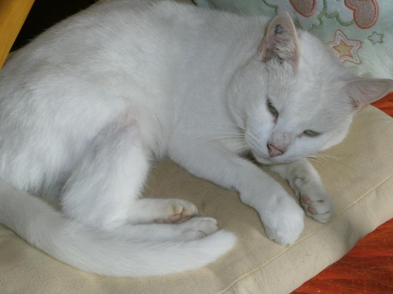 Neige, femelle type européen blanche, née 01/04/2011 P9060011