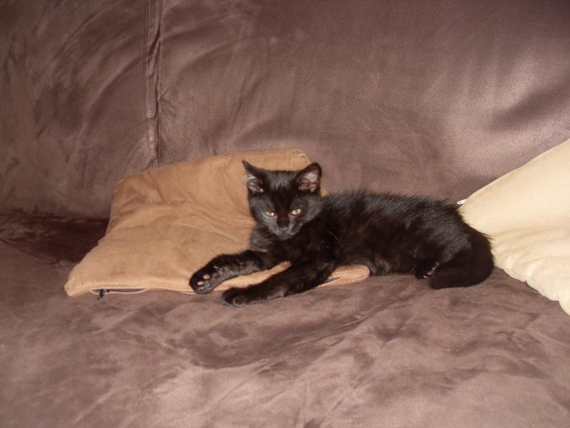 Himalaya, chaton femelle noir née le 20/05/2012 Sdc12810