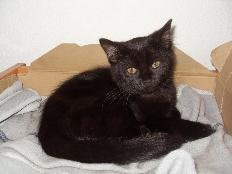 Himalaya, chaton femelle noir née le 20/05/2012 Sdc12910