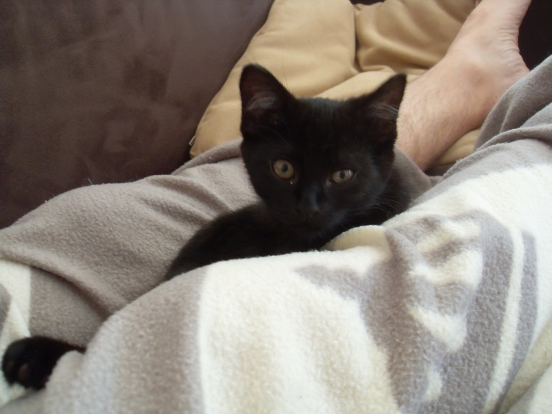 Himalaya, chaton femelle noir née le 20/05/2012 Sdc12911