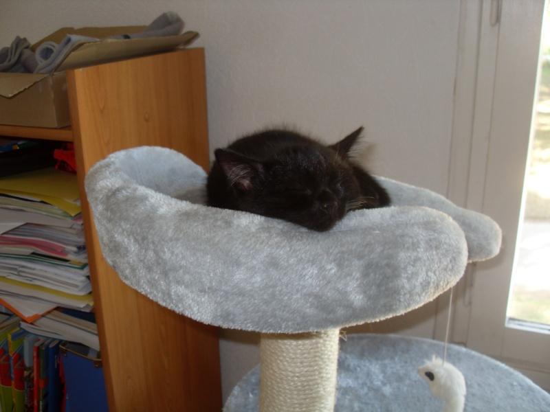 Himalaya, chaton femelle noir née le 20/05/2012 Sdc12912