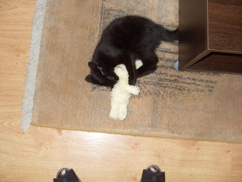 Himalaya, chaton femelle noir née le 20/05/2012 Sdc12913