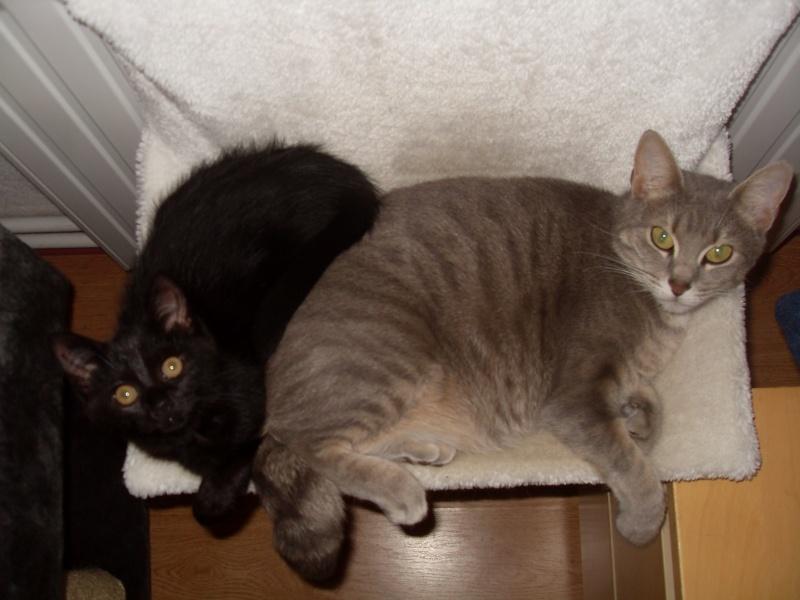 Himalaya, chaton femelle noir née le 20/05/2012 Sdc12914