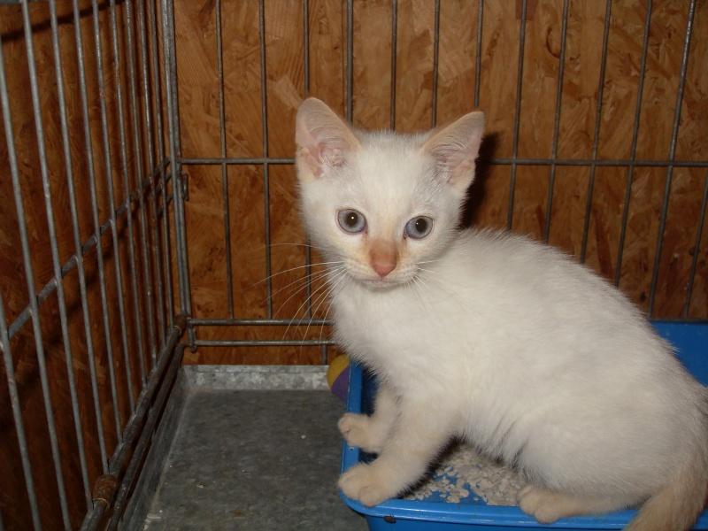 Hulk, chaton mâle blanc et roux né en juillet 2012 Sdc13018