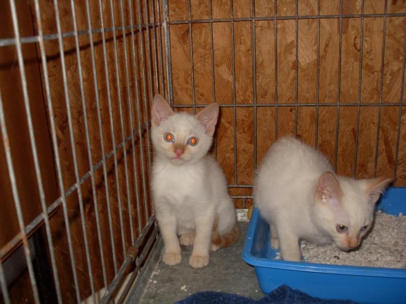 Hulk, chaton mâle blanc et roux né en juillet 2012 Sdc13019