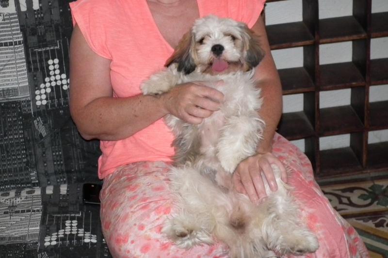 Gena, femelle croisée shitzu/bichon 6 mois en FA corse Dscf1827