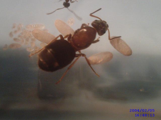 Echange Reine fourmis avec oeufs contre... 85410411