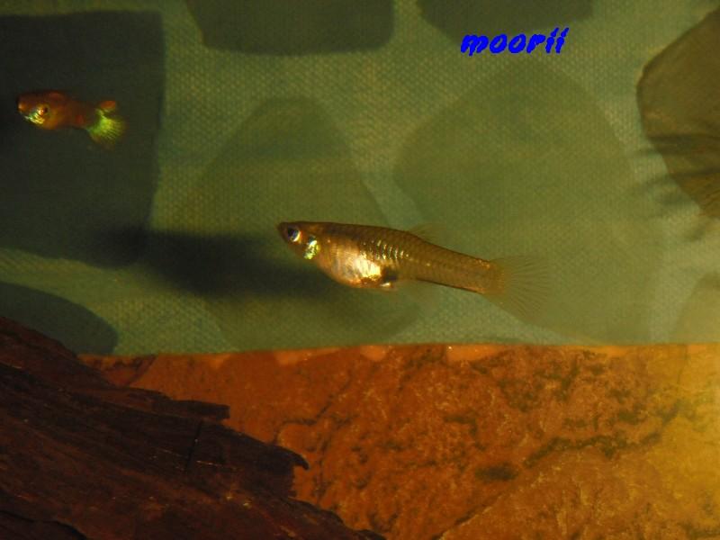 Poecilia reticulata Venezuela 5711
